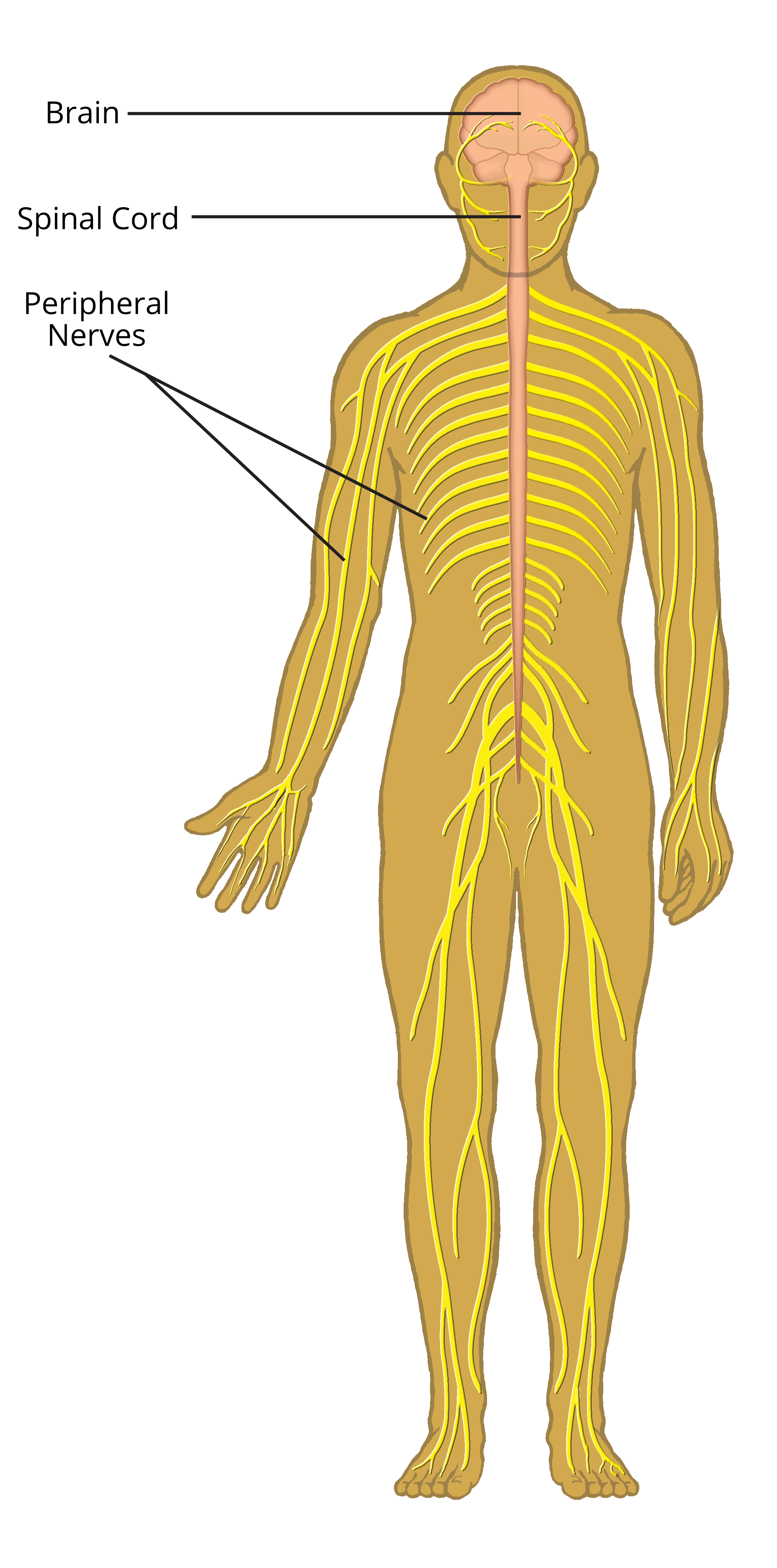 nervous system Understand coordination by the central nervous system see how nerve cells and  neurones transmit nerve signals as action potentials look at transmission at a.