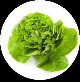Living butterhead lettuce